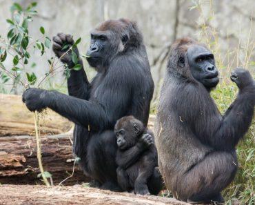 50 цікавих фактів про горил