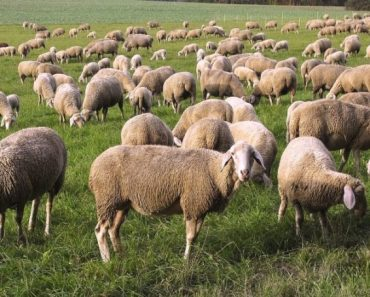 50 цікавих фактів про овець