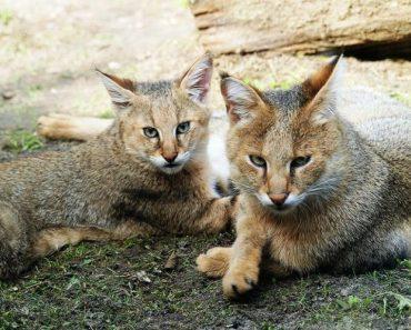 50 цікавих фактів про очеретяних котів для допитливих