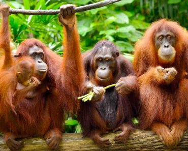 50 цікавих фактів про орангутанги