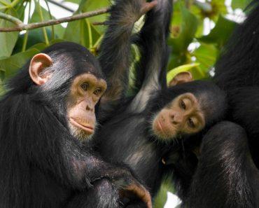 50 цікавих фактів про шимпанзе