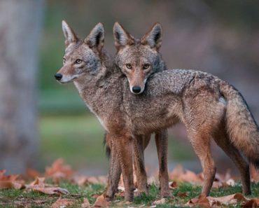 50 цікавих фактів про койотів