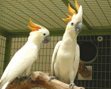 50 цікавих фактів про папуг какаду
