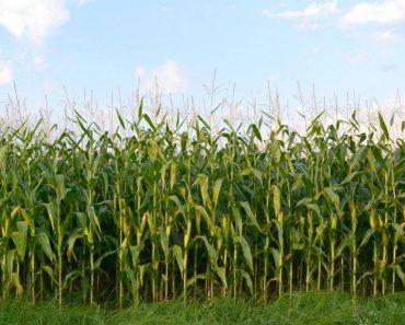 50 цікавих фактів про кукурудзу