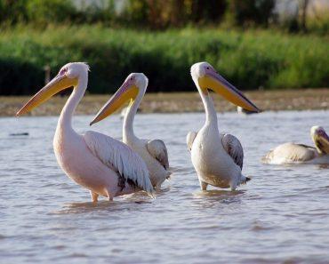 49 цікавих і дивовижних фактів про пеліканів