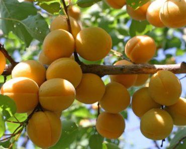 50 цікавих фактів про дуже корисні плоди – абрикоси
