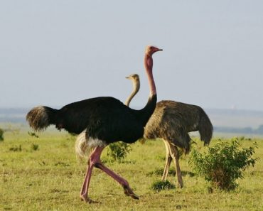 50 цікавих фактів про страусів
