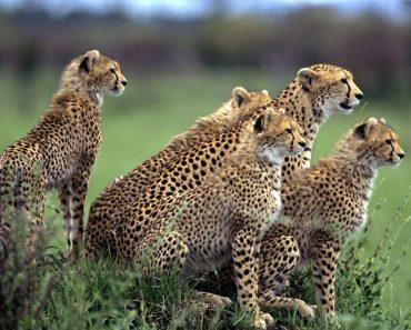 35 цікавих фактів про гепардів