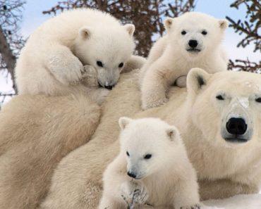 50 цікавих фактів про білих ведмедів