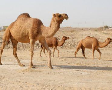35 цікавих фактів про верблюдів