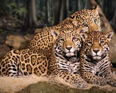 50 цікавих фактів про ягуарів