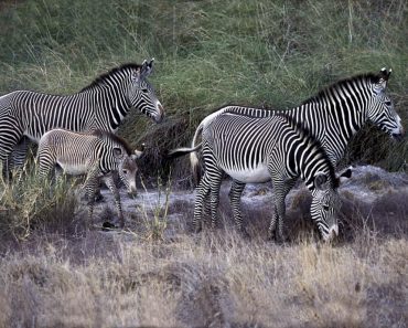 35 цікавих і дивовижних фактів про зебру
