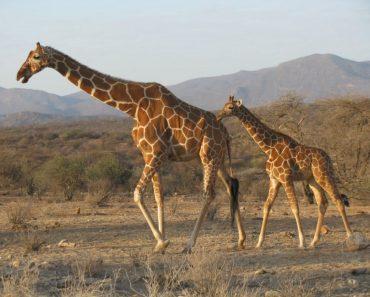 35 цікавих фактів про жирафів