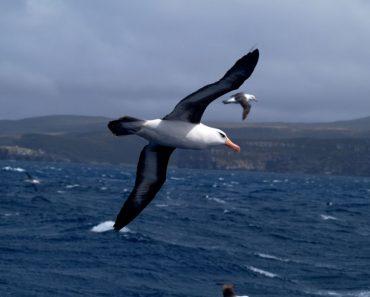 50 цікавих про альбатросів