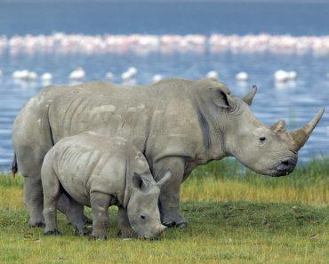 35 цікавих фактів про носорогів