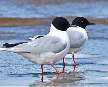 39 цікавих фактів про чайки (мартинів)