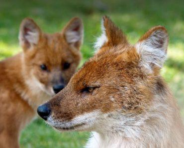 Цікаві факти про червоного вовка
