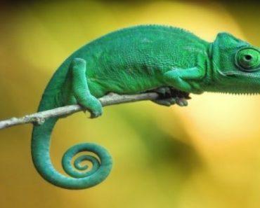 Цікаві факти про хамелеонів