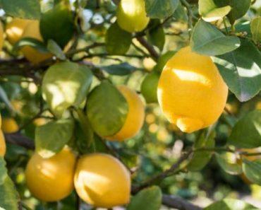 Цікаві факти про лимони
