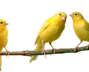 Цікаві факти про канарок