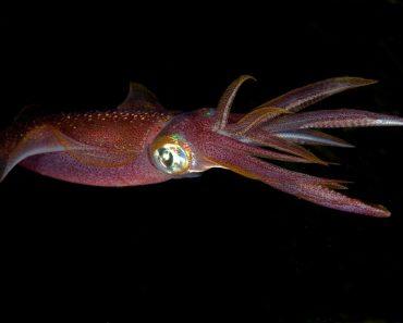 Цікаві факти про кальмарів