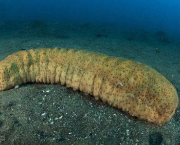 Цікаві факти про морські огірки
