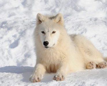 Цікаві факти про полярних вовків