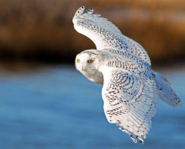 Цікаві факти про полярну сову