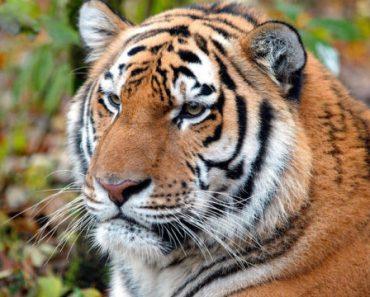 Цікаві факти про амурських тигрів
