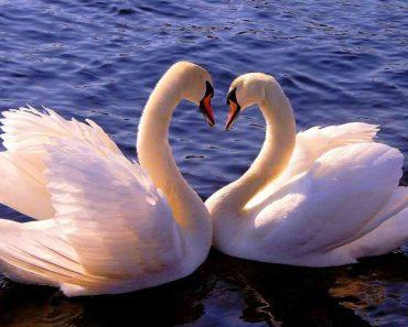 50 цікавих фактів про лебедів