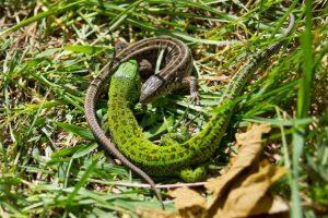 40 цікавих фактів про ящірок