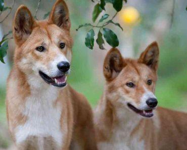 50 цікавих фактів про диких собак Дінго
