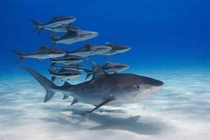 35 цікавих фактів про акул