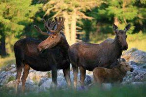 35 цікавих і дивовижних фактів про лосів