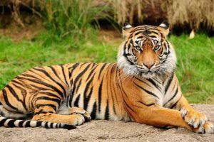 50 цікавих фактів про тигрів