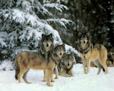 35 цікавих фактів про вовків
