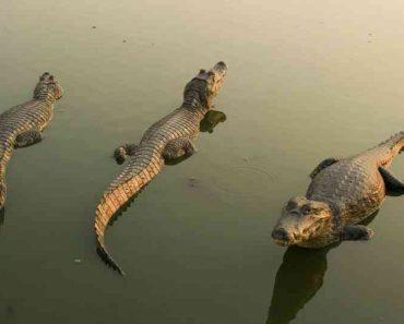 50 цікавих фактів про крокодилів