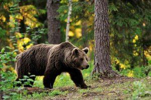 50 цікавих фактів про бурих ведмедів
