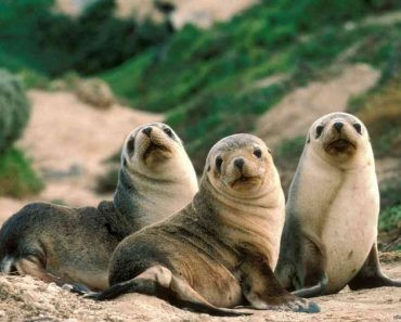 50 цікавих фактів про Тюленів