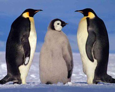 50 цікавих фактів про пінгвінів для допитливих